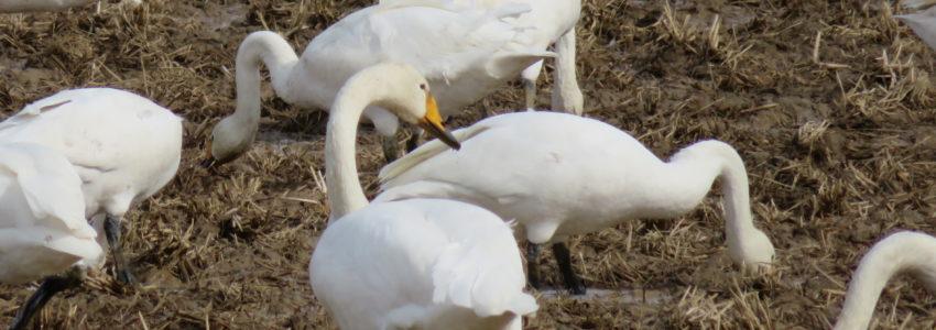 飛来、白鳥の群れ